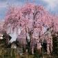 八重红枝垂 精品福建 山樱花米径8公分报价 山樱花 地苗袋苗苗圃批发,垂枝樱花