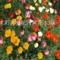 供应 花草植物种子 花卉花籽 硫华菊种子